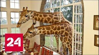 Поместье жирафов в Кении - Россия 24
