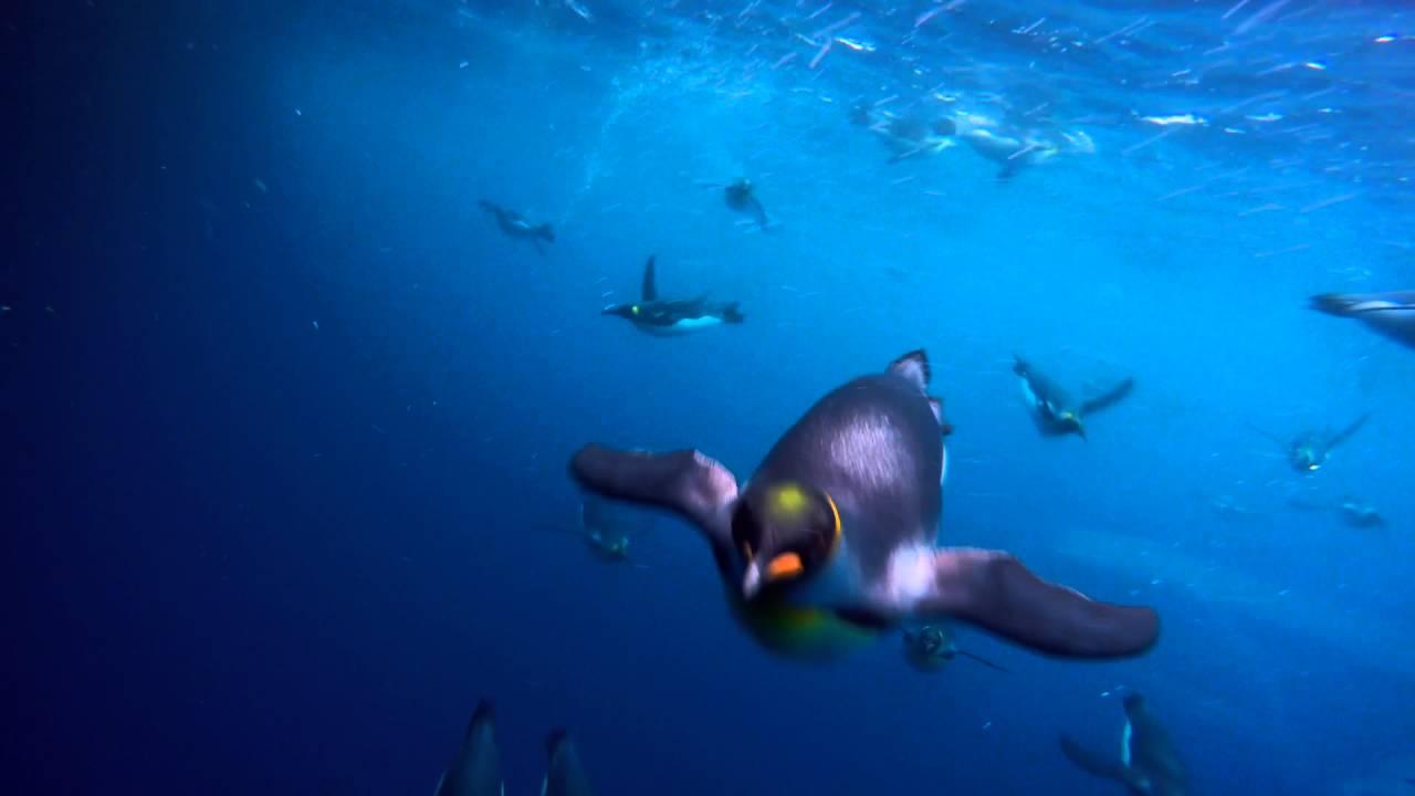 【動画】キングペンギンの海中遊泳