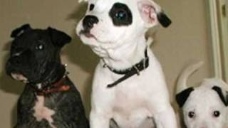 Some History And Facts About The American Pit Bull Terrier