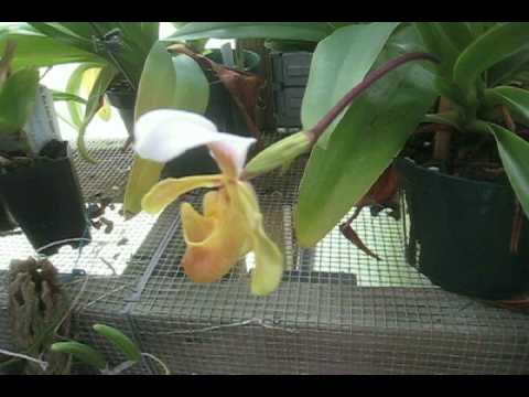 Paphiopedilum Barbigerum Ladyslipper Orchid From China In Bloom