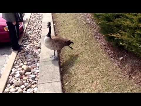 Man Attacked by Canada Goose