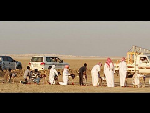 Saluki (dog) race in Qatar using a gazelle