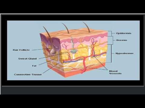 The Skin (Human Anatomy): Picture, Definition, Function, and Skin