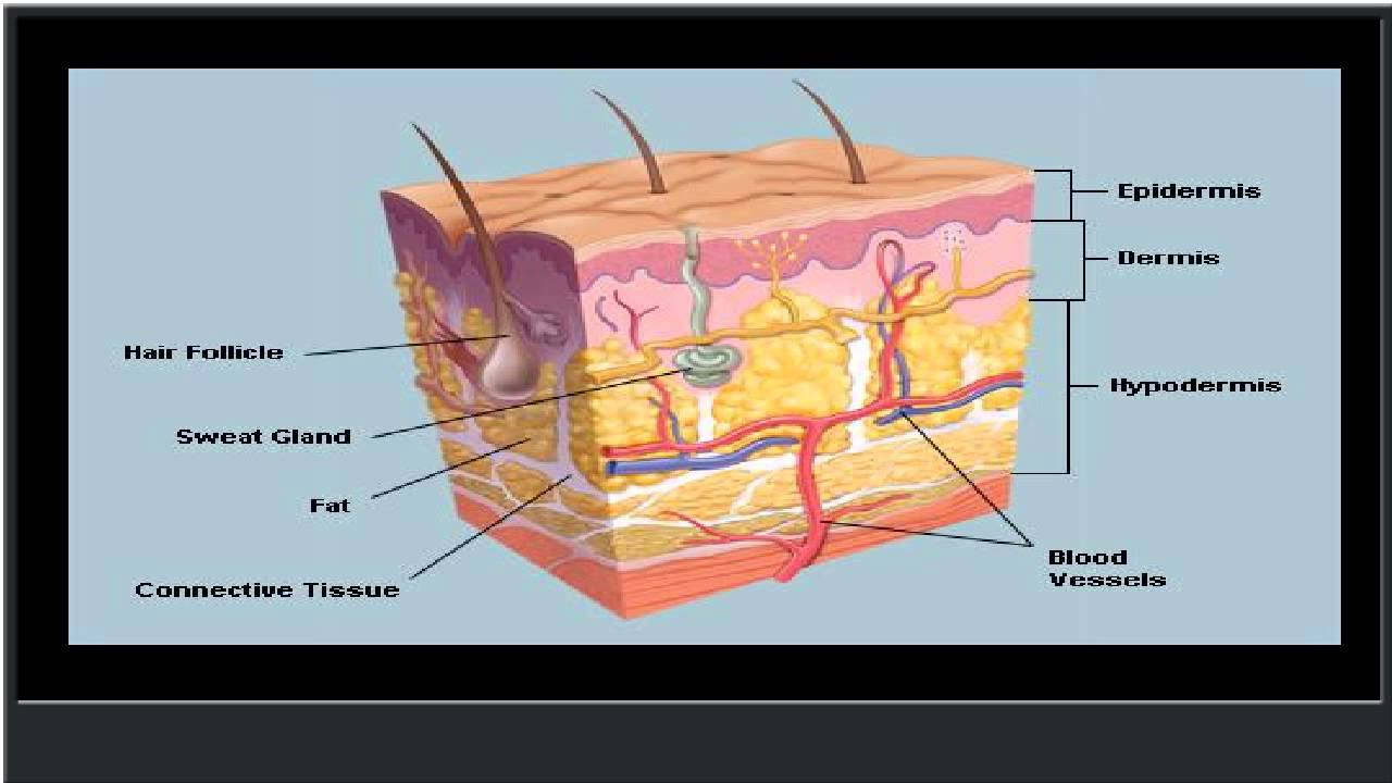 The Skin Human Anatomy Picture Definition Function And Skin