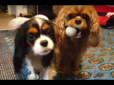 But mom, my sis has the ball! - Cavalier King Charles Spaniel