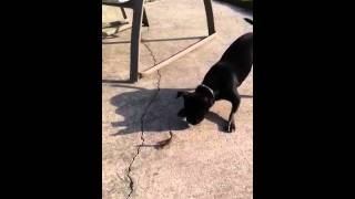 Chickie The Boston Terrier/pug Mix Vs A Praying Mantis