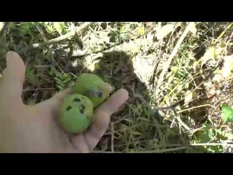 Крым. Заброшенный ореховый сад. Молодые грецкие орехи. thumbnail