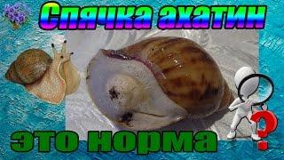 Неактивное состояние (спячка) гигантской улитки ахатина (Achatina immaculata - Ахатина Иммакулята)