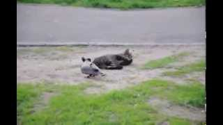 Ворона унижает кота..прикол!