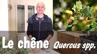 Le chêne (Quercus spp.), feuilles et écorce : fortes diarrhées, angines, problèmes de gencives.