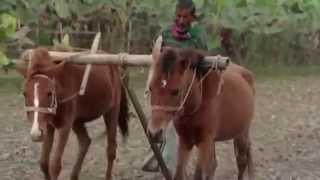 ঘোড়া দিয়ে হালচাষ   (horse driven plough)