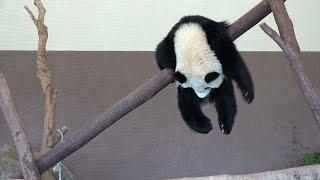 panda cub slide    桜浜 アドベンチャーワールド  パンダ