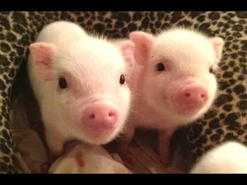 micro porco bonito - um mini vídeos porco bonito. Compilação
