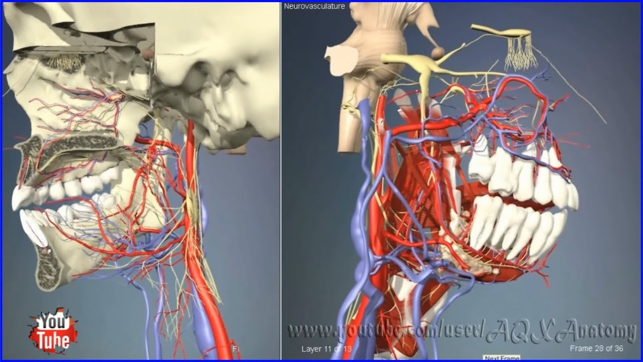 Neurovascular Structures Of The Nasal And Oral Cavities 3d Human