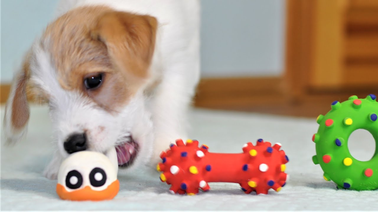 What toy will the puppy choose? funny dog toys / funny puppy jack russell terrier