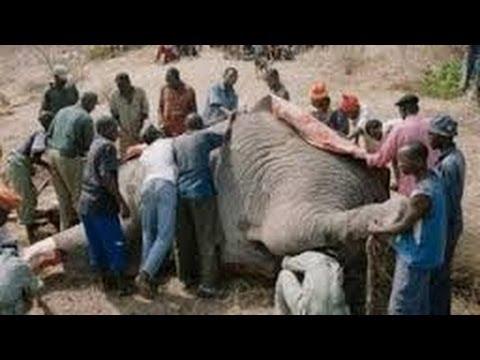 SE COMEN A UN ELEFANTE EN 107 MINUTOS. Zimbabue