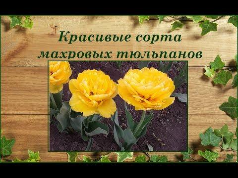 Тюльпаны махровые и махрово-бахромчатые. Красивые сорта из моей коллекции