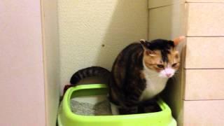 愛猫ミューは寝る前に毎晩トイレでオナラ。 10秒後に聞こえるけど、 ...