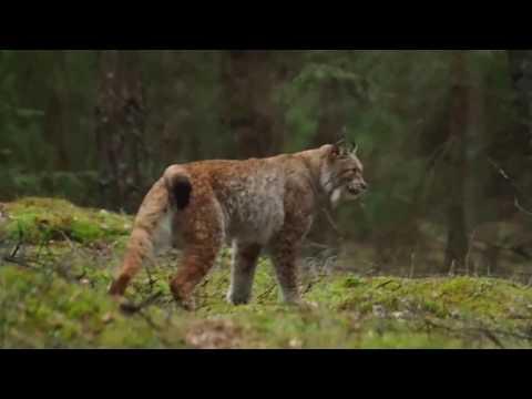Ryś (Lynx lynx) Puszcza Białowieska 1.03.2017