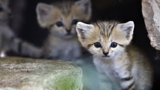 Cutest Cats: Baby Sand Kittens