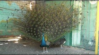 Ярош. Лучшая коллекция декоративных голубей на Донбассе.