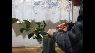 Плоды,обрезка и купание павловского лимона 17 11 2014 001(, 2014-11-18T21:26:11.000Z)