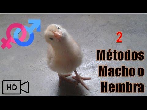 2 m todos para saber si un pollo es macho o hembra youtube for Como saber si es marmol