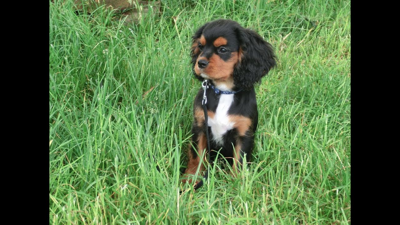 Cavalier King Charles Spaniel White And Tan Puppies