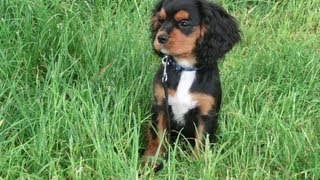 Cavalier King Charles Spaniel Puppy - Black And Tan 1