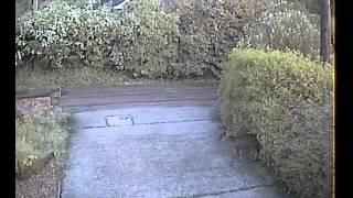 Muntjac Deer popping through hedge in garden