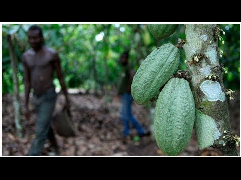World's top cocoa producers fight to protect forests | CBC News