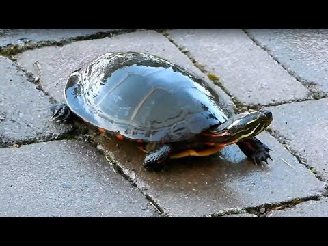 PAINTED TURTLE - New Pat on our backyard