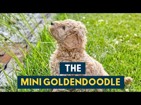 The Mini Goldendoodle: 14 Cute Facts You Didn't Know