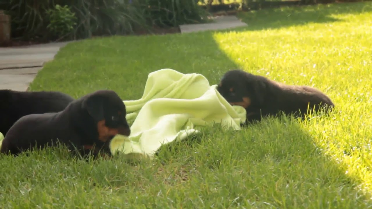 Rottweiler Puppies For Sale Allen King