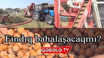 QƏBƏLƏ FINDIQ BAĞLARI-QƏBƏLƏ TV