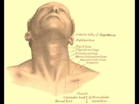 Laryngeal Prominence Youtube