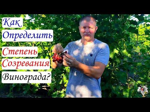 Как определить степень созревания винограда