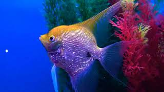 Huge Pearl Scale Gold Angel Fish.  What Are Pearl Scale Angel Fish? How Big Do They Get?