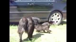 Responsible Dog Break The Cat Fight