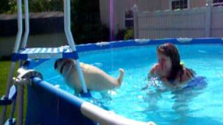 Max The Pug Swimming ( Pugs Hate To Swim But Not This One )