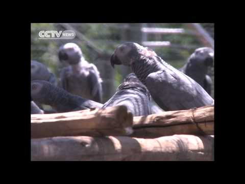 Rare Uganda parrots set free