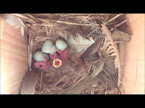 Starlings nesting in Smart Nest Box