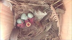 Starlings nesting in Smart Nest Box