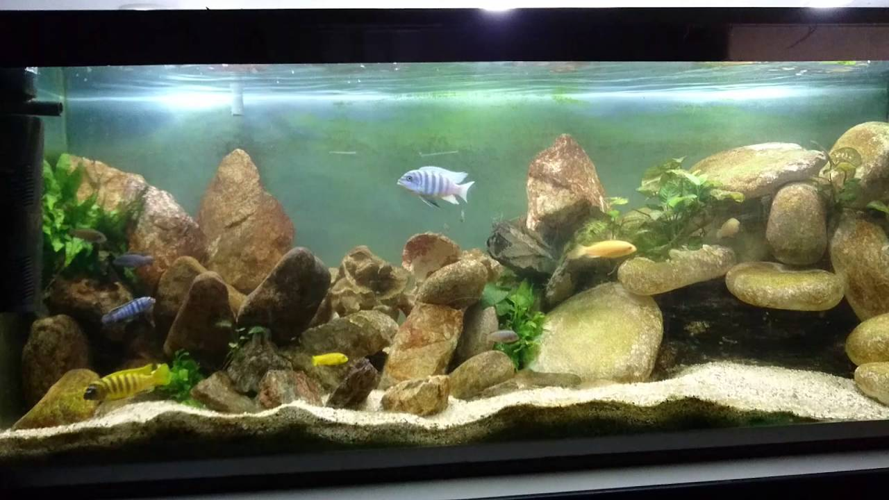 aquarium 450 litre cichlid s du lac malawi youtube. Black Bedroom Furniture Sets. Home Design Ideas