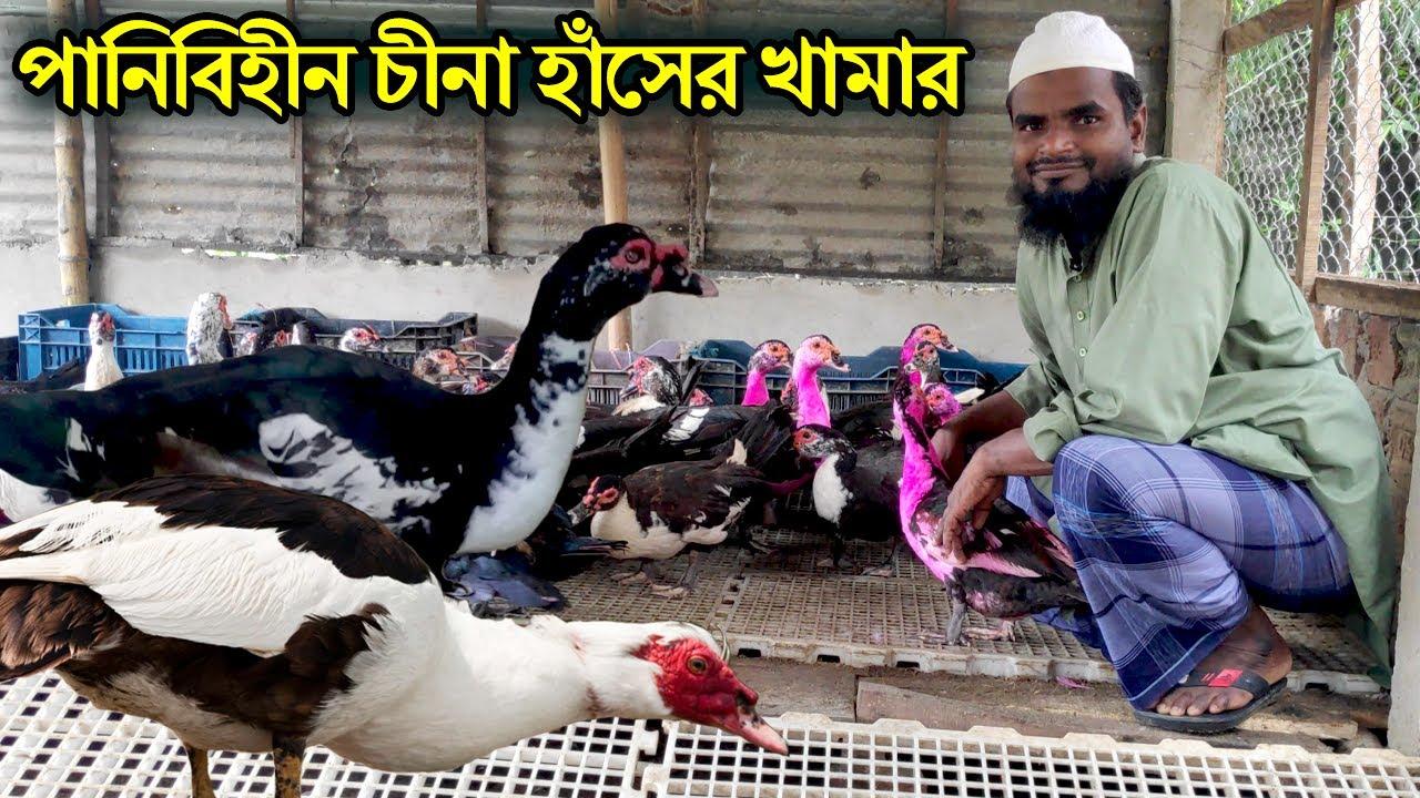 Download পানিবিহীন পরিবেশে চীনা হাঁসের খামার বাংলাদেশে । Muscovy Duck Farming bangladesh