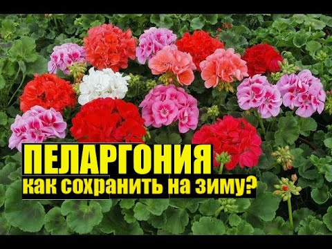 Черенкую пеларгонию/герань/калачик. Как на зиму сохранить цветок?