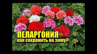 Черенкую пеларгониюгеранькалачик. Как на зиму сохранить цветок