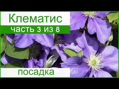 Посадка клематиса весной и осенью: когда и как сажать клематисы