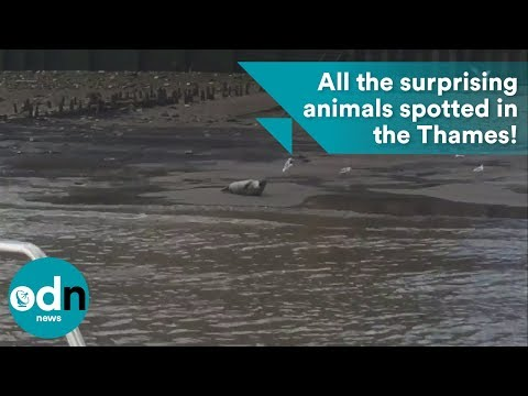 All the surprising animals spotted in the River Thames!