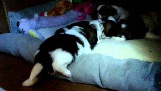 3 Week Old Shih Tzu Puppies *Potty Training*